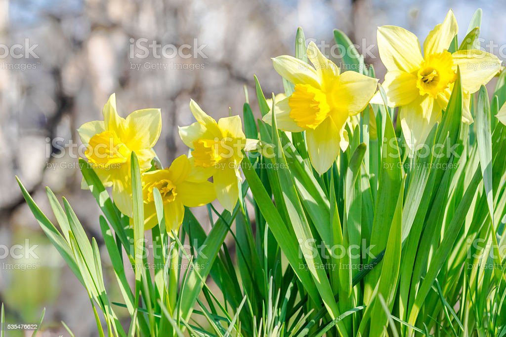 yellow garden flowers stock photo