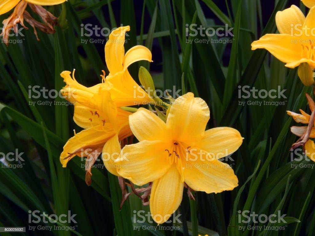 Yellow garden lilies close-up stock photo
