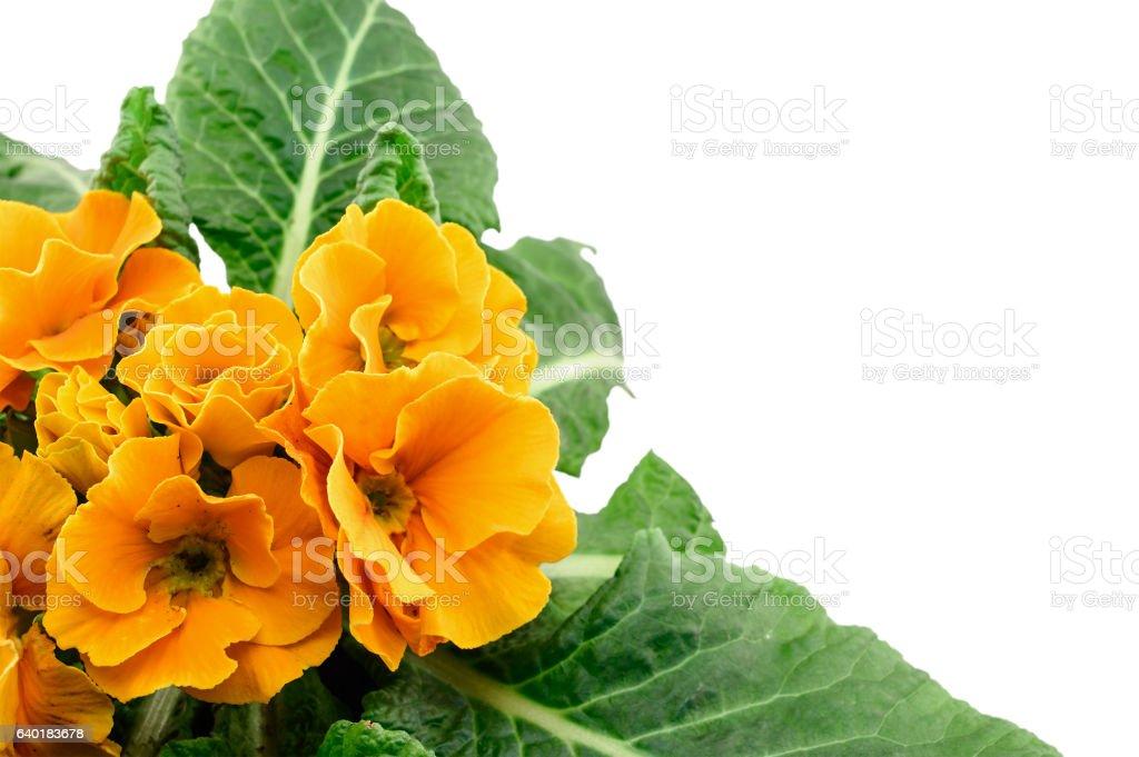 Yellow garden primerose isolated on white stock photo