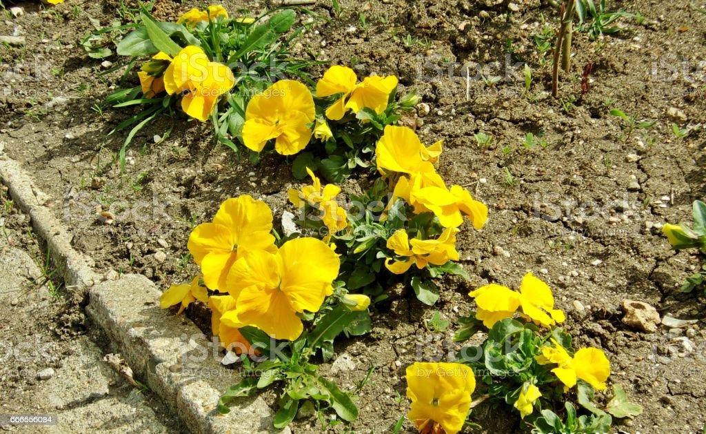 990- Yellow garden primula violet flowers stock photo