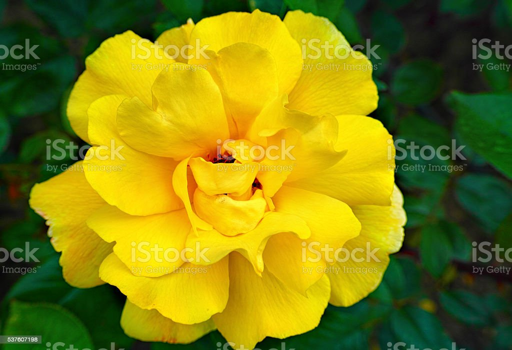Yellow garden rose from Bulgaria royalty-free stock photo