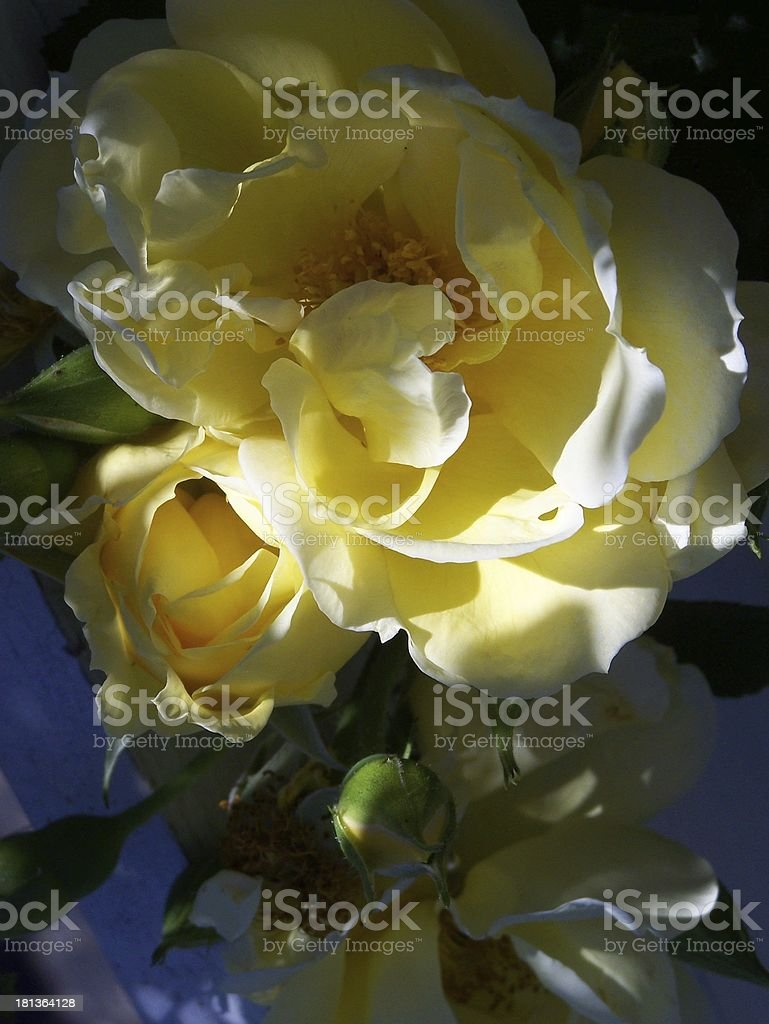 Yellow garden roses royalty-free stock photo