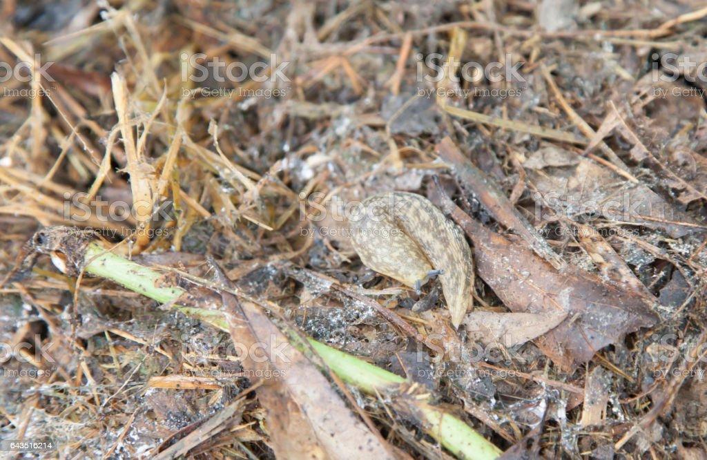 Yellow Garden Slug stock photo