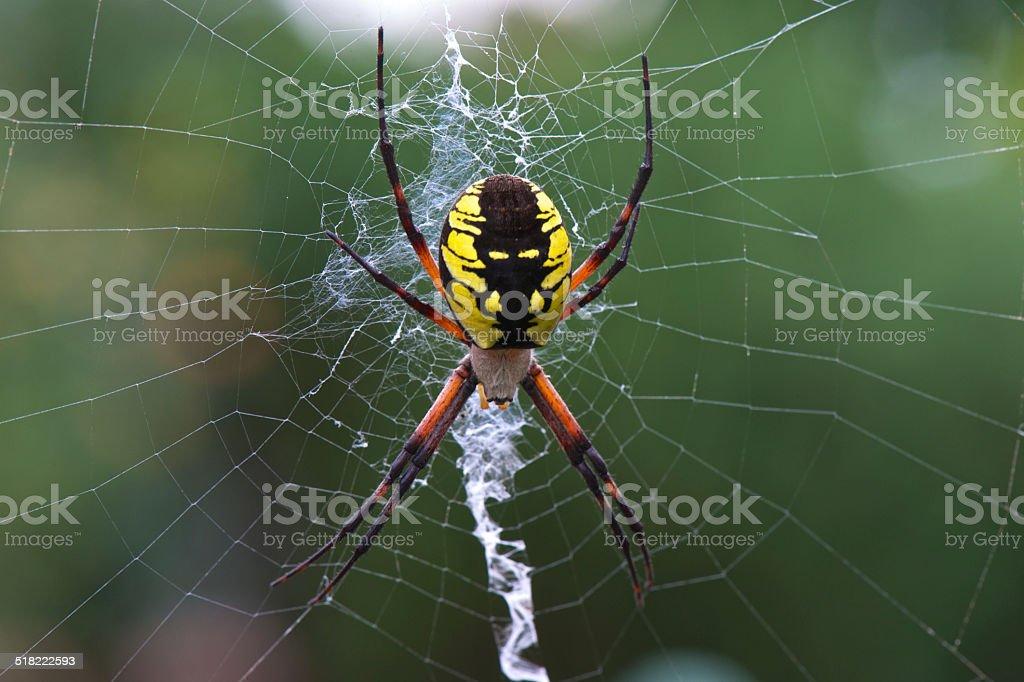 Yellow Garden Spider Argiope Aurantia Silk Web in Oregon Garden stock photo