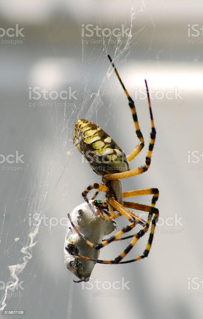 Yellow Garden Spider Eating stock photo
