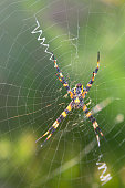Yellow garden spider on the web