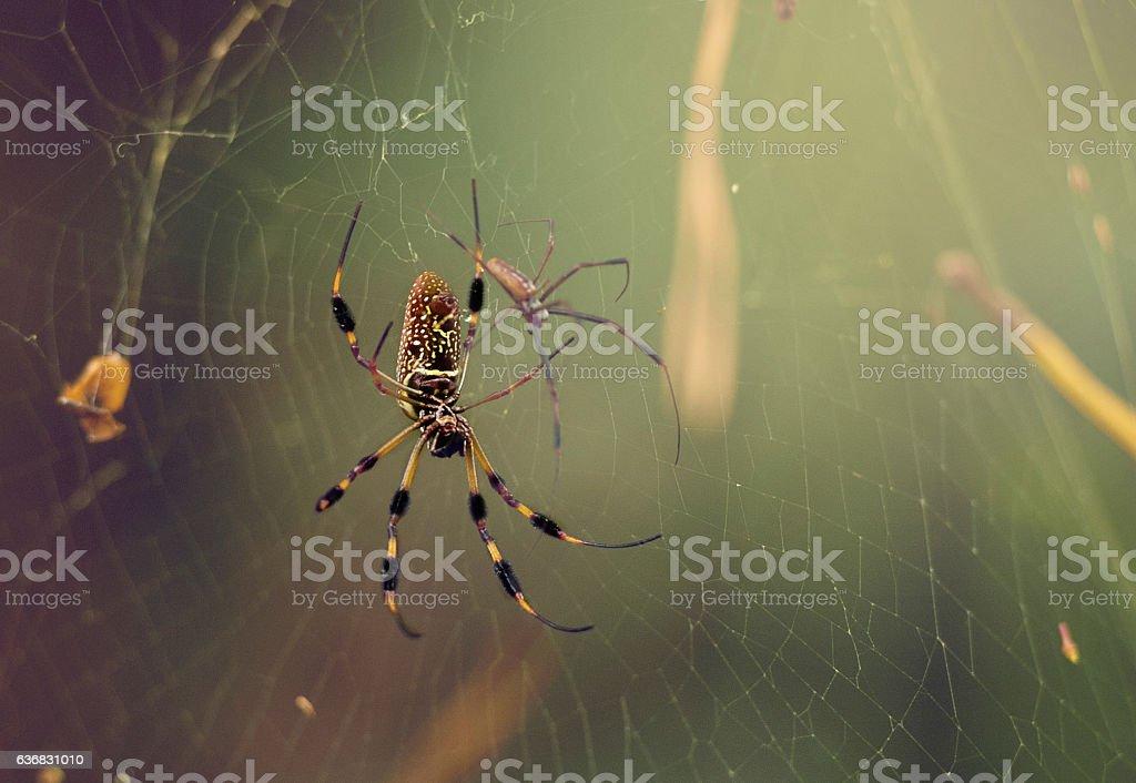 Yellow Garden Spider on Web stock photo