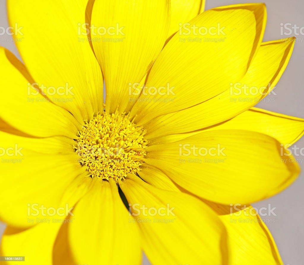 Yellow Gazania Blossom Macro stock photo
