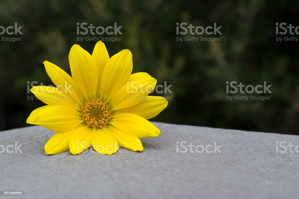 Yellow Gazania Flower Head stock photo