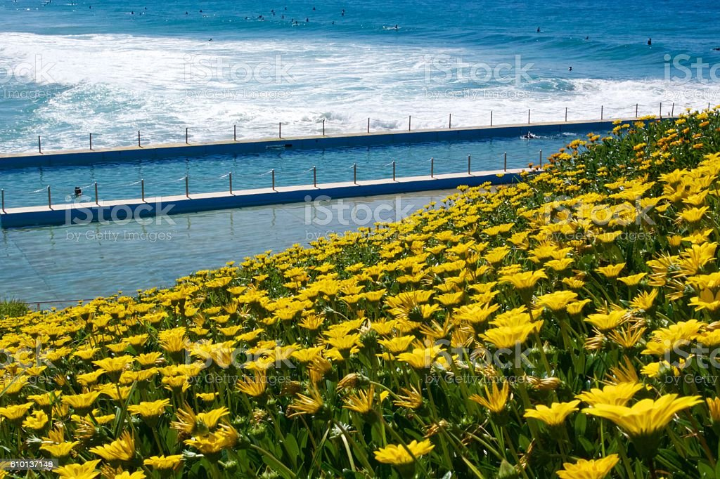 Yellow Gazanias and rock pool stock photo