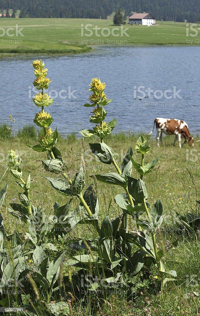 Yellow gentian stock photo