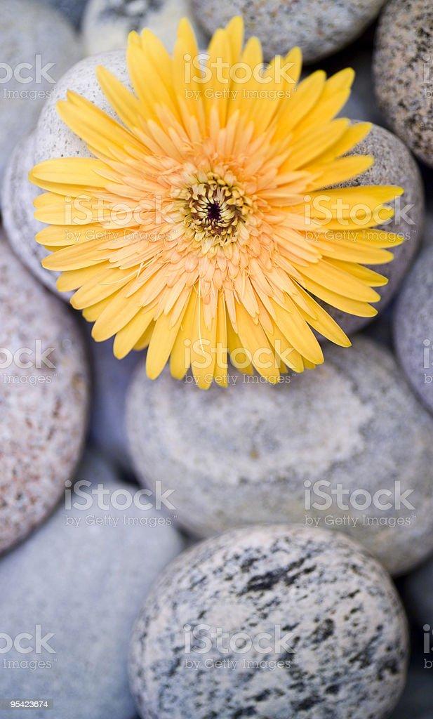Yellow gerber daisy on pebbles with narrow focus stock photo