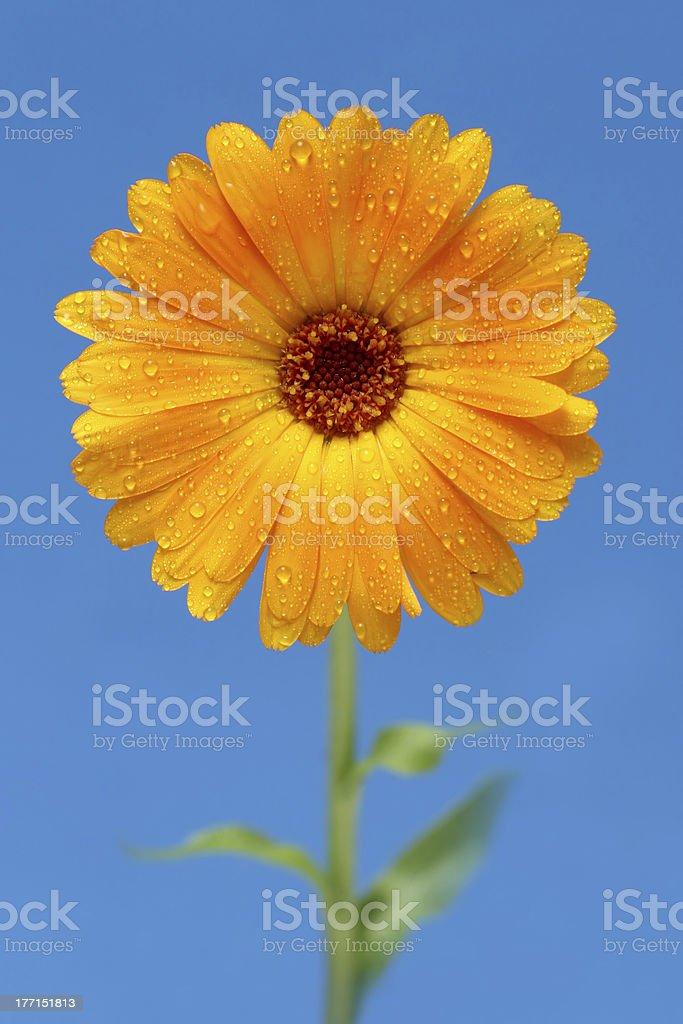 yellow gerber daisy royalty-free stock photo