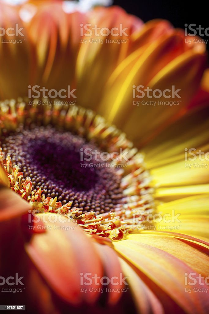 Yellow gerbera closeup with drops of dew. royalty-free stock photo