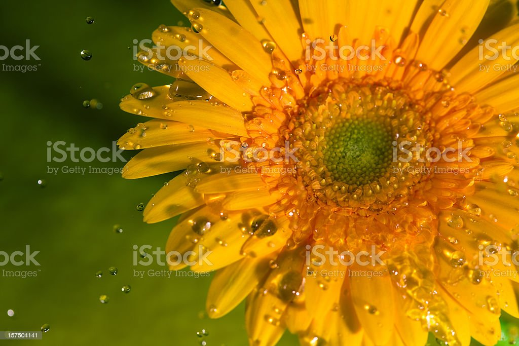 Yellow Gerbera Daisy on a green background and water drops stock photo