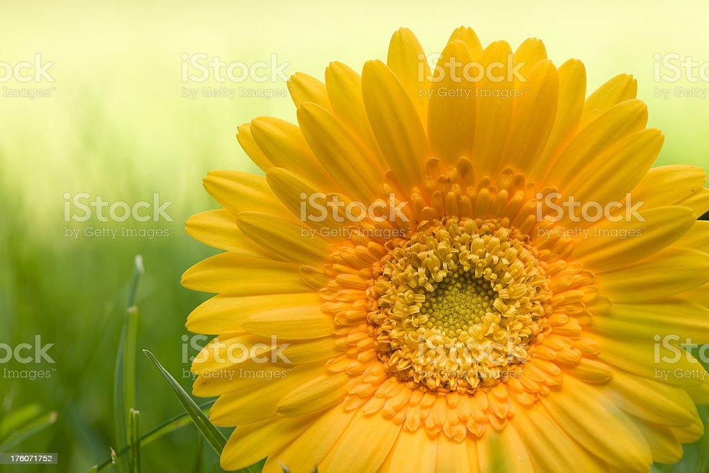 Yellow Gerbera Daisy on a green grass royalty-free stock photo