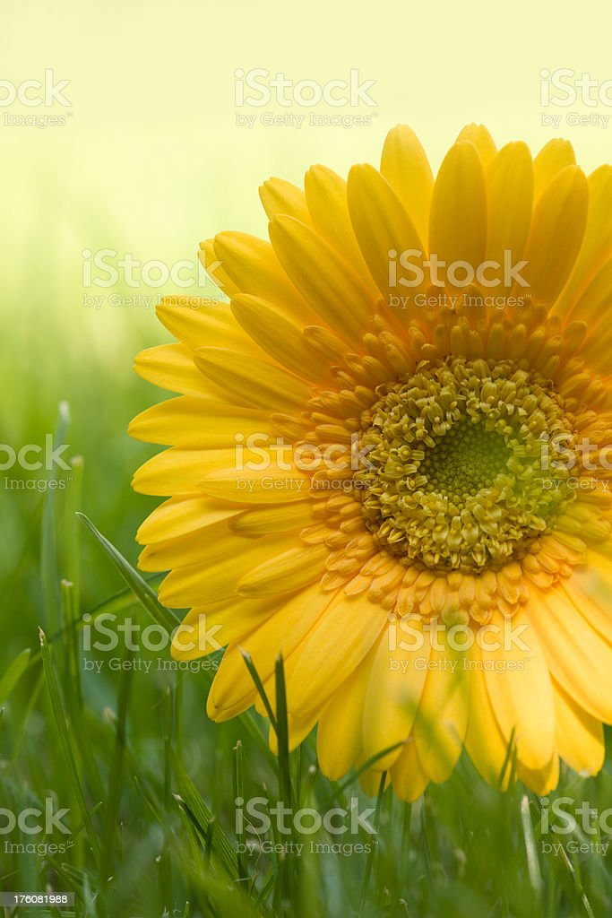 Yellow Gerbera Daisy on a green grass royalty-free stock photo