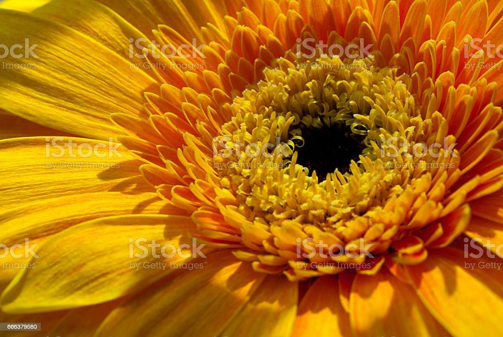 Yellow Gerbera Daisy stock photo