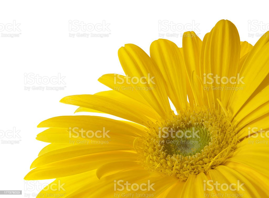Yellow Gerbera Daisy with Clipping Path stock photo