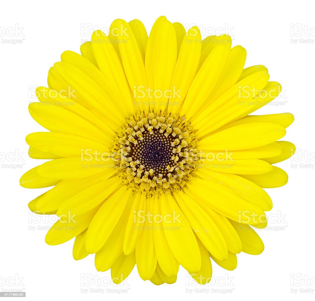 yellow gerbera flower isolated on white stock photo