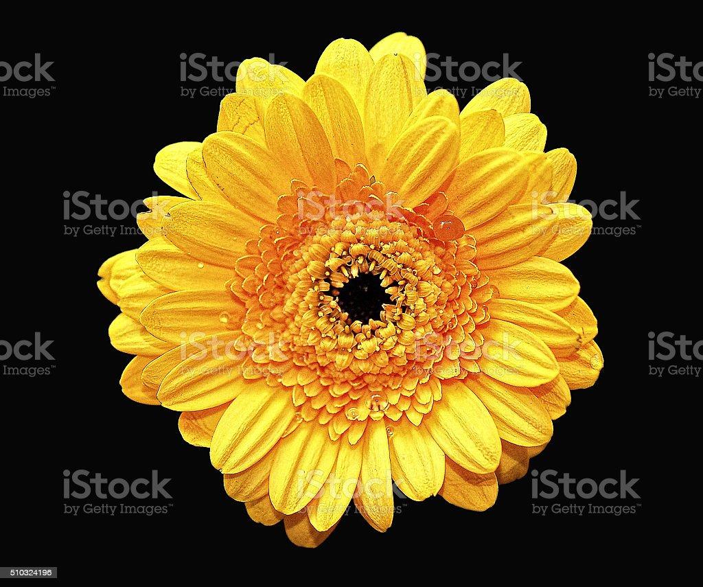 Yellow Gerbera flower on black background stock photo