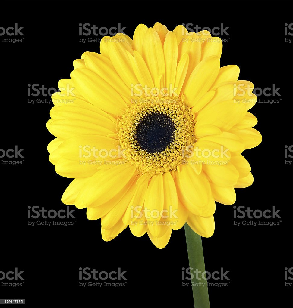 Yellow Gerbera Flower with Green Stem Isolated royalty-free stock photo