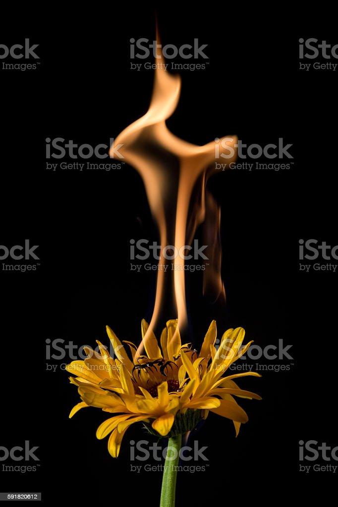 yellow gerbera on fire stock photo