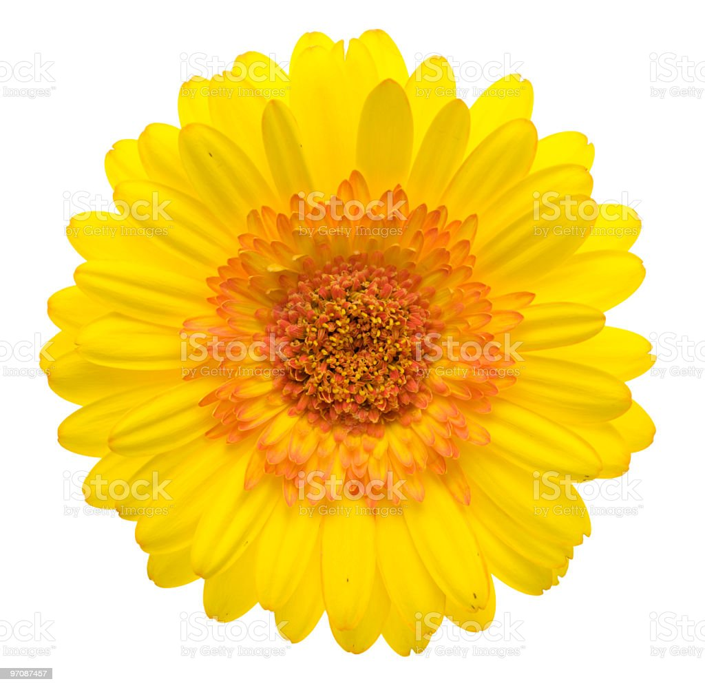 Yellow gerbera (XXL) royalty-free stock photo