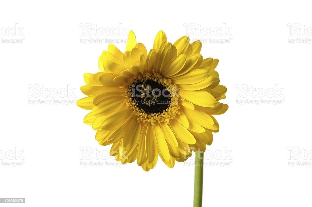 Amarillo gerberas foto de stock libre de derechos