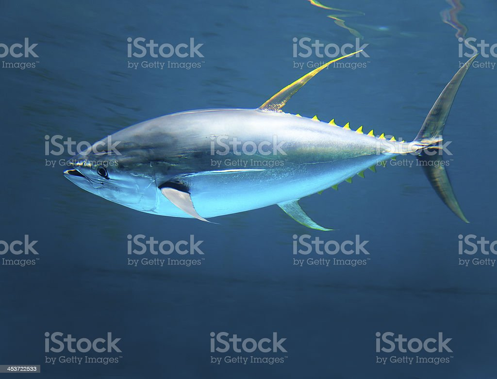 yellow gin tuna fast moving in the ocean stock photo