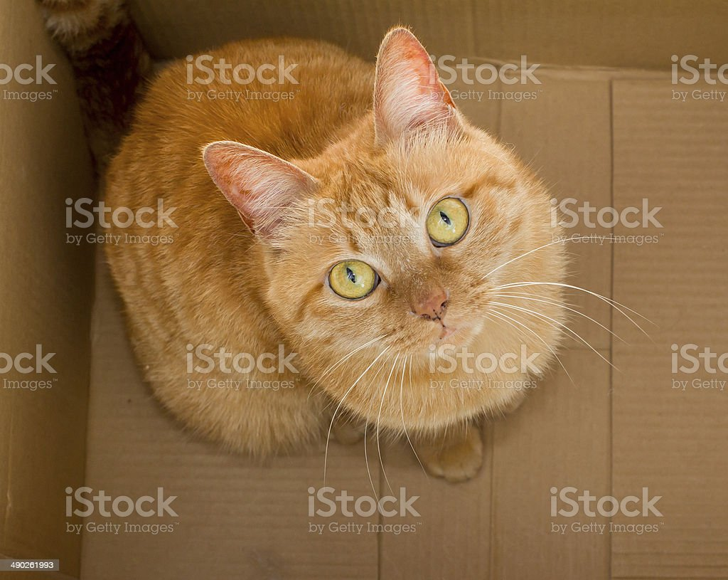 yellow ginger cat pet in box isolated stock photo