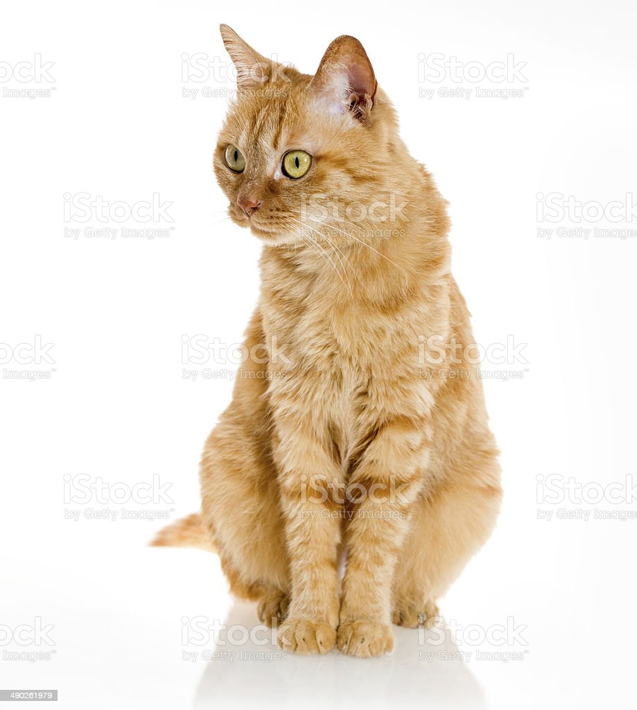 yellow ginger cat pet isolated stock photo