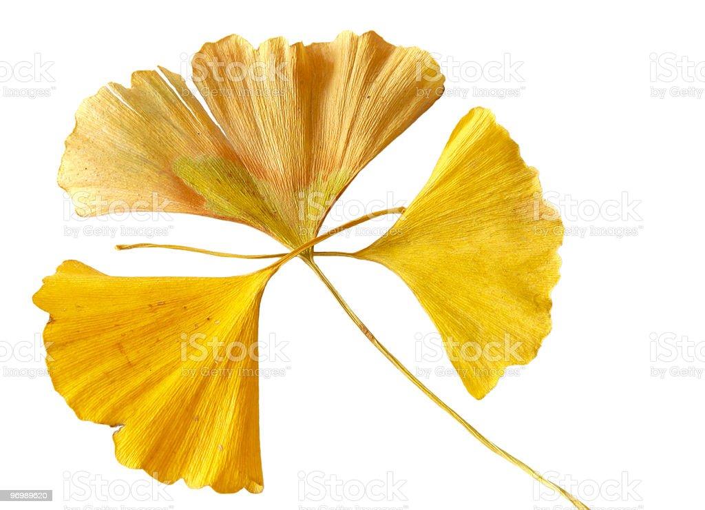 Yellow Ginkgo Biloba leafage royalty-free stock photo