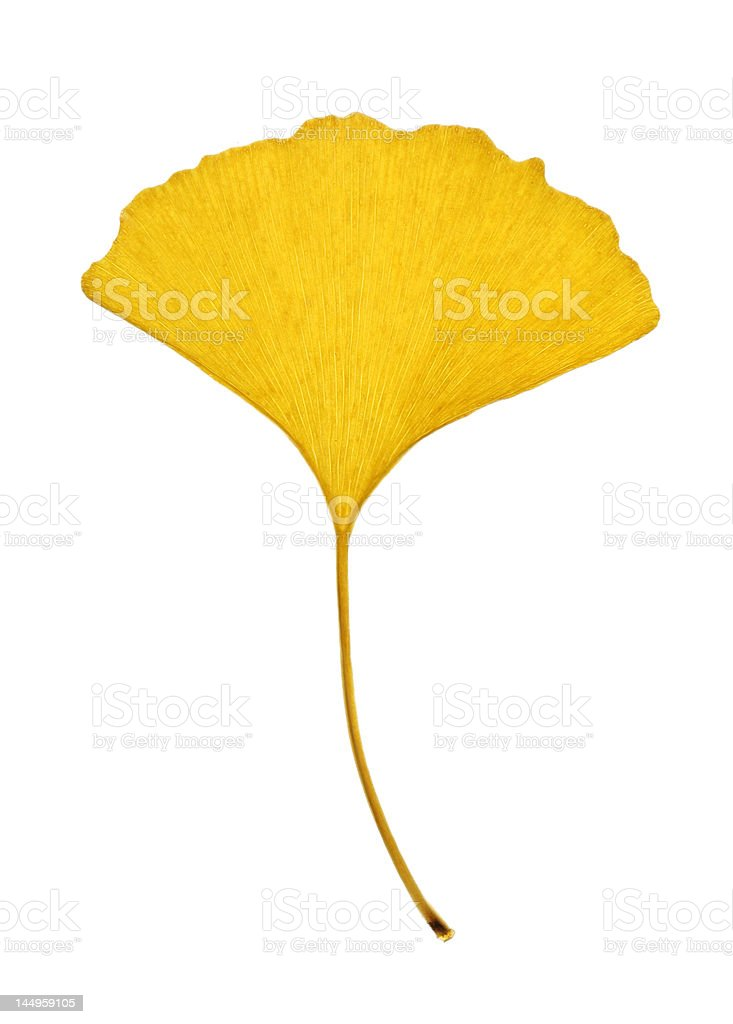Yellow Ginkgo Leaf Isolated on White stock photo