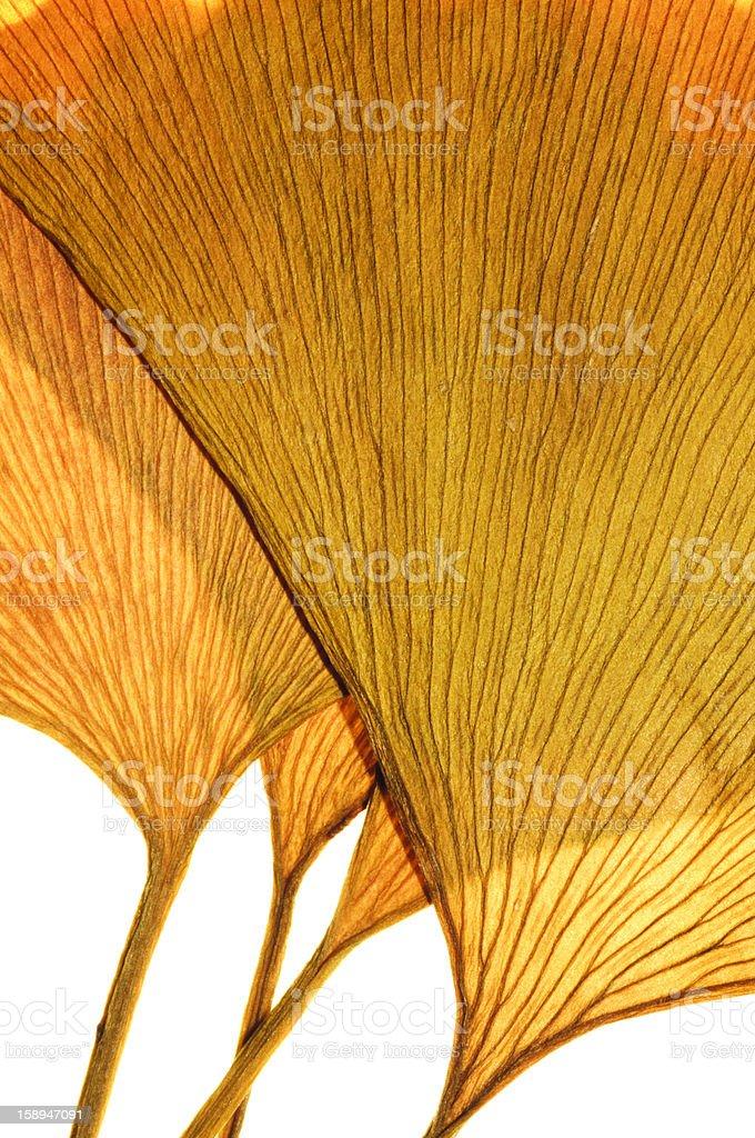 Yellow Ginkgo Leaf royalty-free stock photo