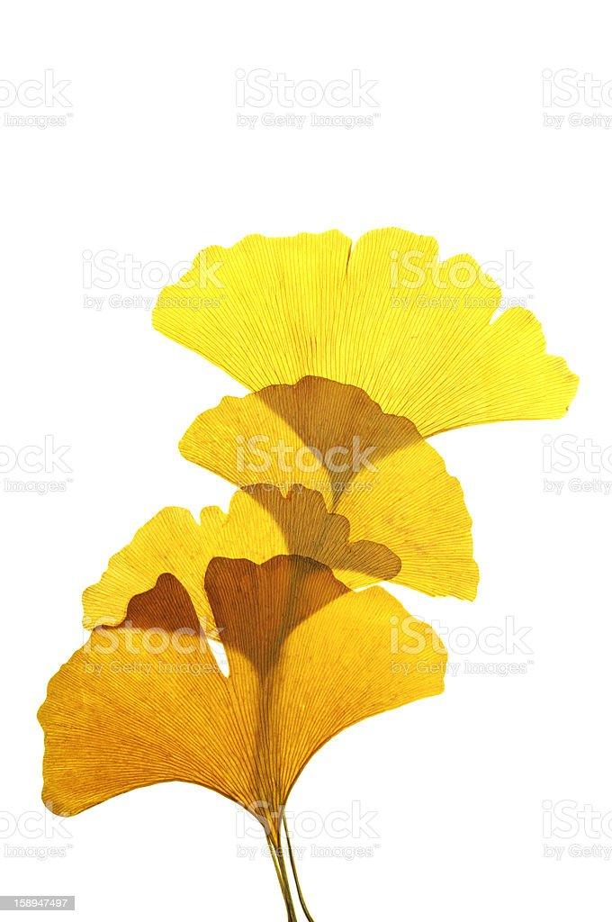 Yellow Ginkgo Leaf stock photo
