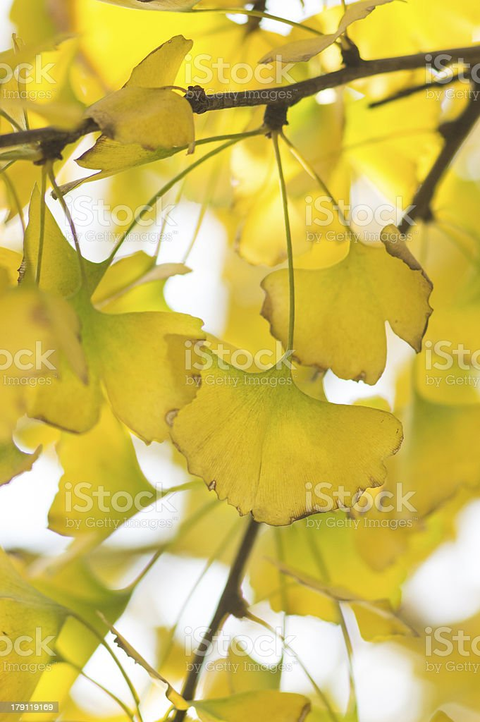 Yellow ginkgo leaves royalty-free stock photo