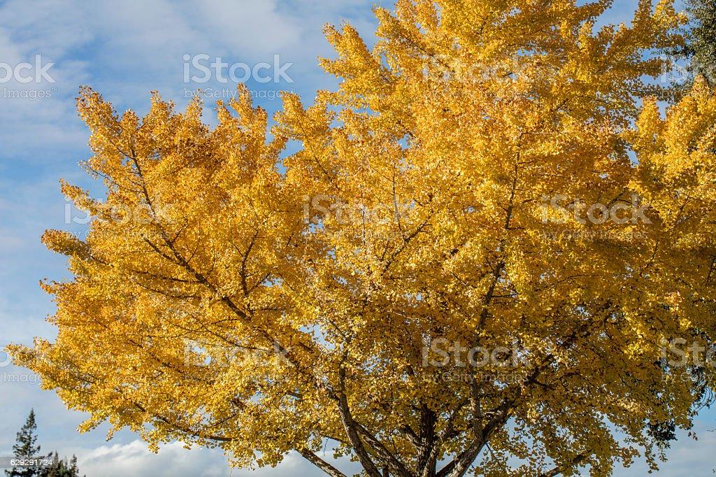 Yellow Ginkgo tree at Napa, California stock photo