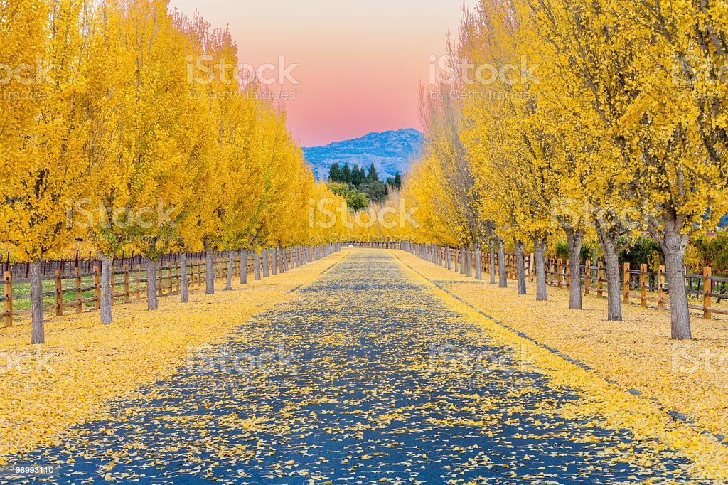 Yellow Ginkgo trees  on road lane in Napa Valley, California stock photo