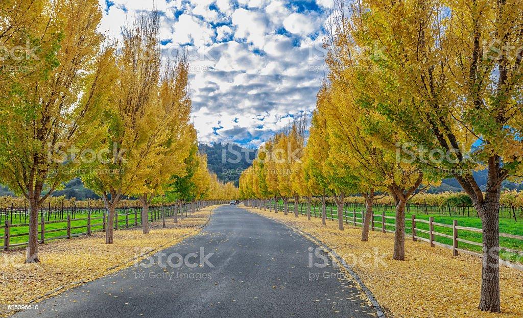 Yellow Ginkgo trees  on road lane in Napa Valley, California stock photo