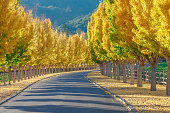 Yellow Ginkgo trees  on road lane in Napa Valley, California