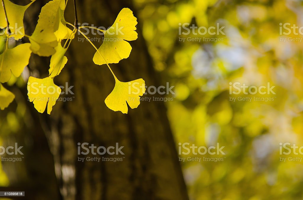 Yellow Ginko Biloba leaves stock photo