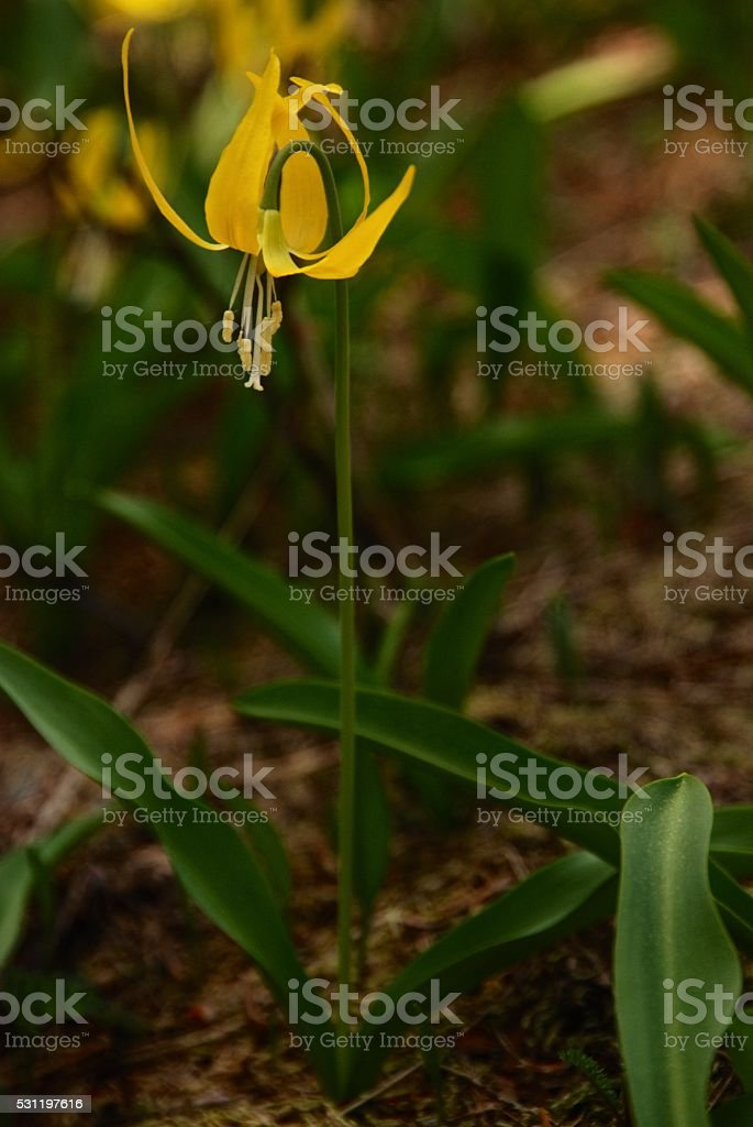 Yellow Glacier Lily stock photo