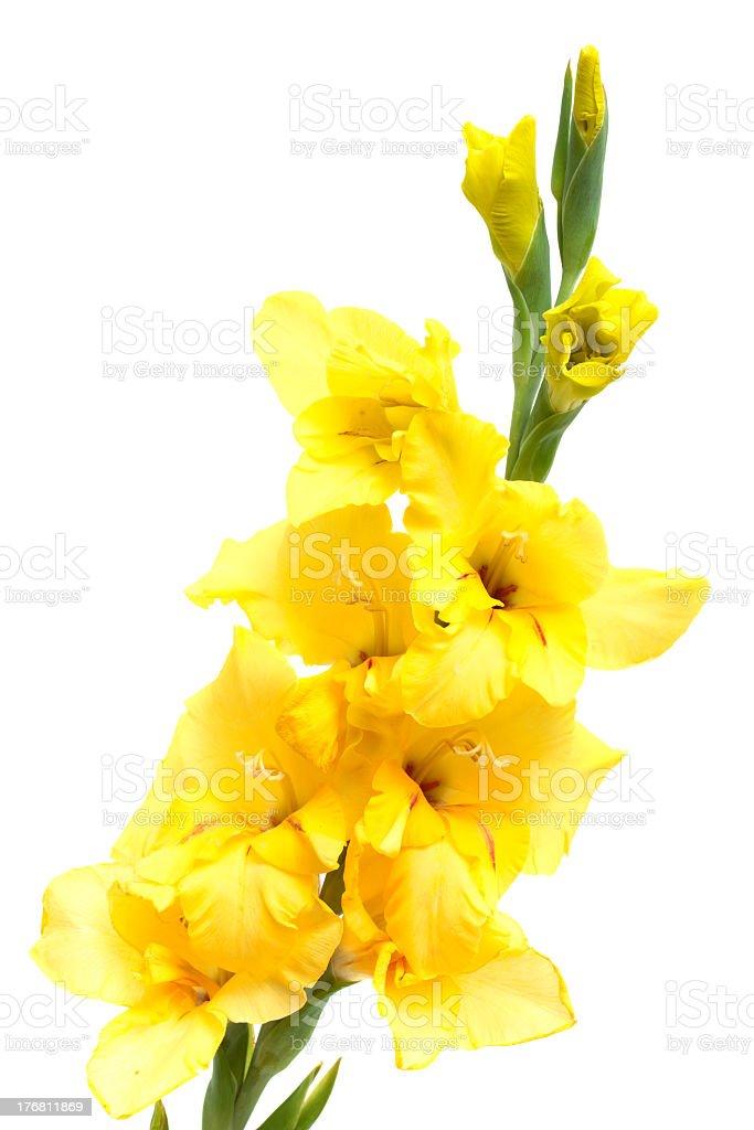 yellow gladiolus royalty-free stock photo