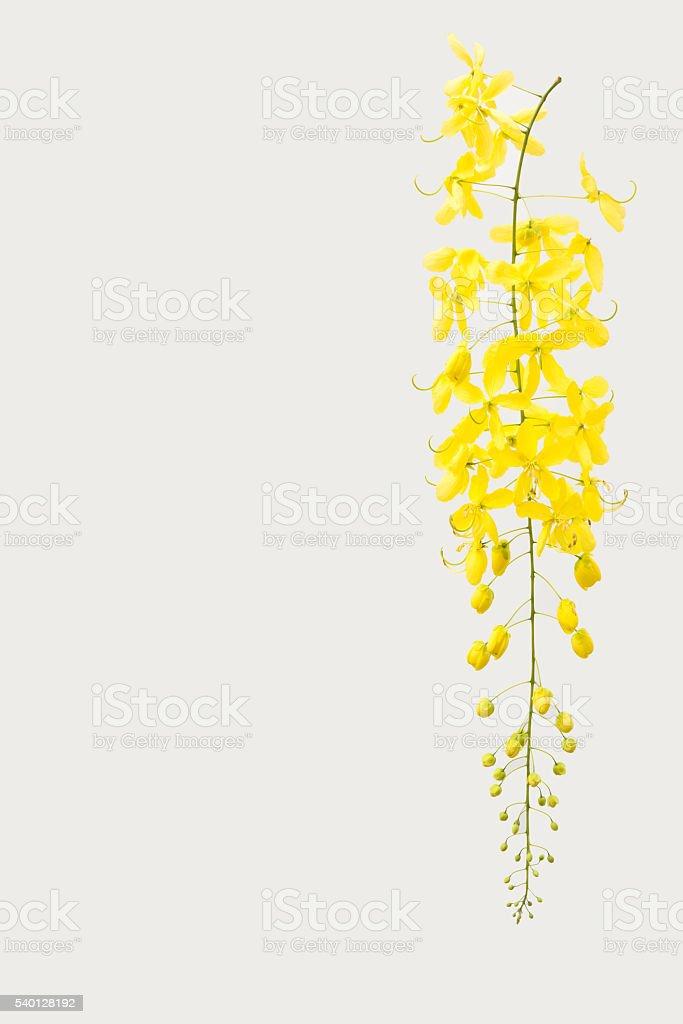 yellow Golden shower ,Cassia fistula flower isolate on white bac stock photo