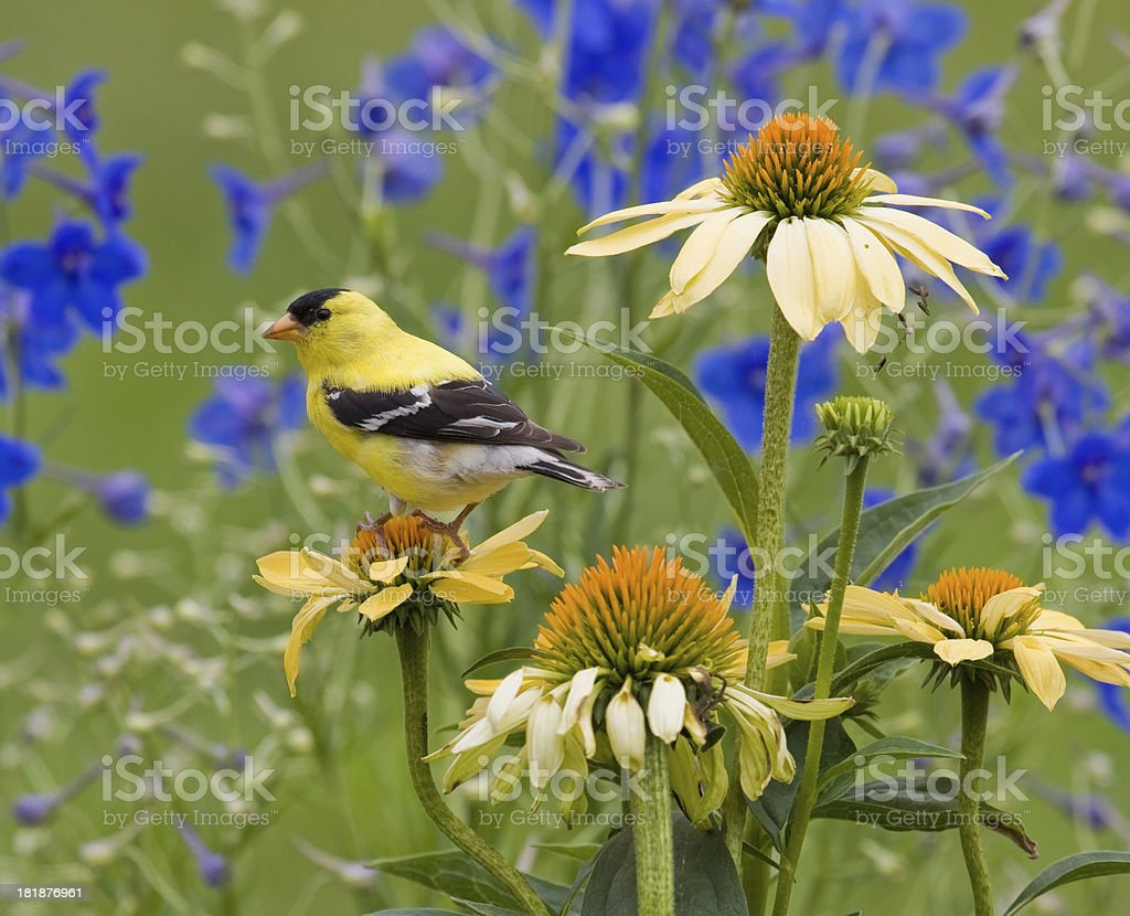 Yellow Goldfinch, perched on a Coneflower stock photo