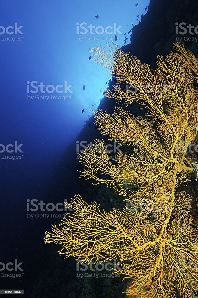 Yellow gorgonia in the Philippines royalty-free stock photo