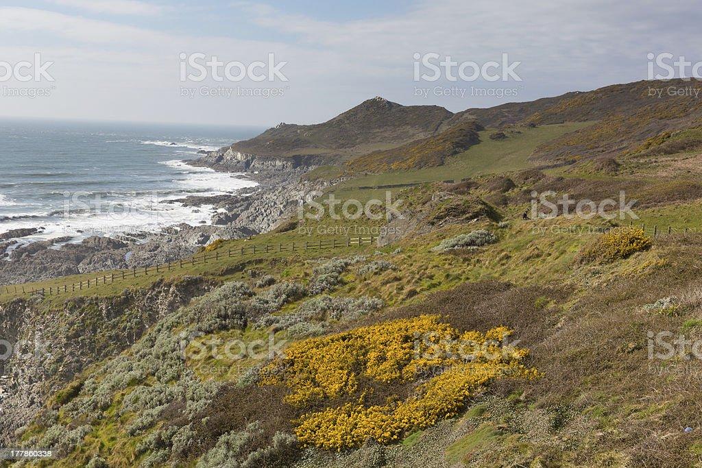 Yellow gorse and Devon coast royalty-free stock photo