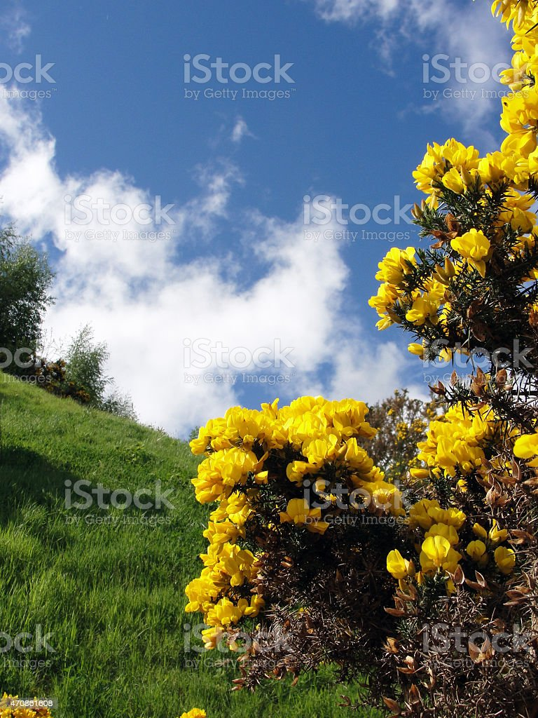 Yellow Gorse Flower (Ulex) and Bridge Sky at Loch Ness stock photo