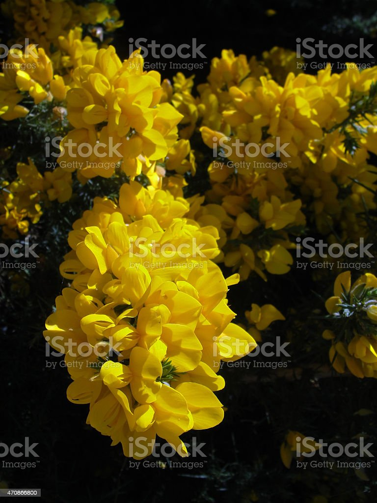 Лохнесс цветок